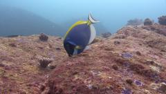 Powder-blue surgeonfish Similan Islands Thailand Stock Footage