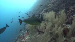 Unicornfish Kuredu Maldives Stock Footage