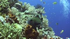 Harlekin sweetlip Tubbataha Reef Philippines Stock Footage
