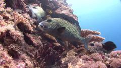 Harlekin sweetlip Palau Micronesia Stock Footage