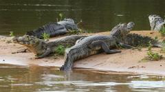 Yacare caimans, Pantanal, 4k Stock Footage