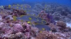 Lined sweetlip Palau Micronesia Stock Footage