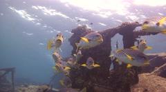 Lined sweetlip Tubbataha Reef Philippines Stock Footage