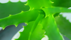 Aloe vera leaves and white cream - stock footage