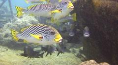 Lined sweetlip and harlekin sweetlip Tubbataha Reef Philippines Stock Footage