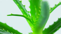 Aloe vera turning leaves - stock footage