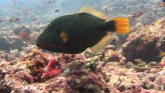 Orange-lined Triggerfish Kuredu Maldives Stock Footage