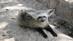 Bat eared Fox Stock Footage