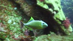 Stock Video Footage of redtail triggerfish revillagigedos Islands Mexico