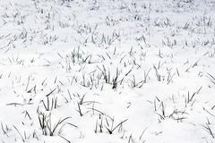 Green grass growing through the snow Stock Photos