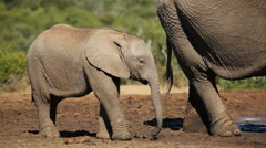 African elephant calf Stock Footage
