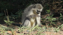 Feeding vervet monkey Stock Footage