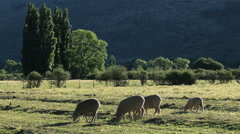 Rural farm landscape with grazing sheep, Karoo region, South Africa Stock Footage