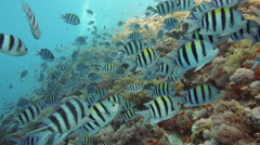 The big school of the Indo.Pacific sergeant (Abudefduf vaigiensis) - stock footage