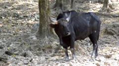 Cape buffalo, or African buffalo chewing on grass Stock Footage