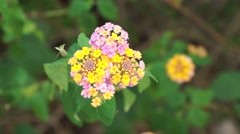 Colorful Lantana flowers in the garden Stock Footage
