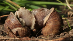 Snails make love Stock Footage