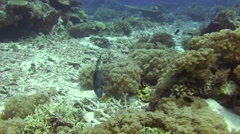 Titan triggerfish Tubbataha Reef Phillipines Stock Footage