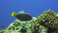 Stock Video Footage of triggerfish Revillagigedos Islands Mexico