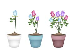 Colorful Roses in Three Ceramic Flower Pots Piirros