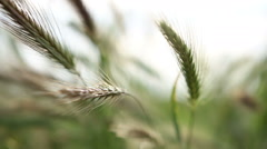 Grass swinging in the wind Stock Footage