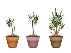 Stock Illustration of Yucca Tree and Dracaena Plant in Flower Pots