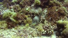 Yellowmargin triggerfish Tubbataha Reef Philippines Stock Footage
