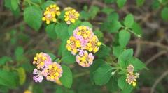 Lantana flowers Stock Footage