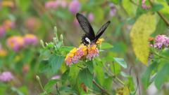 Lantana and butterfly Stock Footage