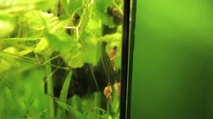 Aquarium snails red-rimmed melania climbing up Stock Footage