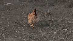 Chiken scratch the ground Stock Footage