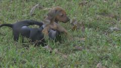 Black and brown pupply playing Stock Footage