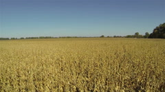 Slow Flight over yellow ripened corn field. Aerial - stock footage