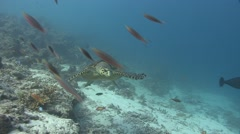 Green sea turtle Kuredu Maldives Stock Footage