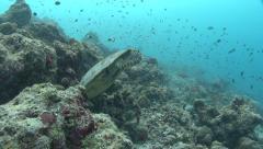 Green sea turtle Kuredu Maldives Stock Footage