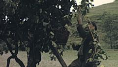 Italy 1955: man harvesting - stock footage