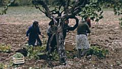 Italy 1955: people harvesting Stock Footage