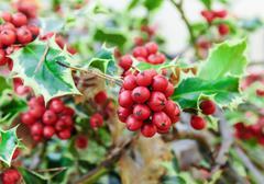Holly branches with fruits (ilex aquifolium) Stock Photos