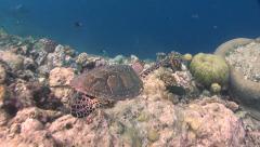 hawksbill turtle Palau Micronesia - stock footage