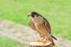 Trained domesticated for hunt raptor bird hawk or falcon Stock Photos