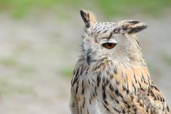 Night silent hunter horned owl with ear-tufts Stock Photos