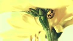 Ladybug on Yellow Daisy Stock Footage