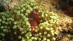 Spinecheek anemonefish Bunaken Indonesia Stock Footage