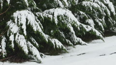 2643 Pine Trees Covered in Fresh Snow During Winter, HD Stock Footage