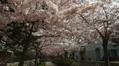 Dolly shot, Pink Cherry Blossom Path Stock Footage