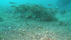 Striped catfishes shoal over sand Lembeh Strait Indonesia Stock Footage