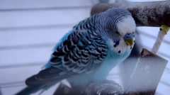Blue parakeet Stock Footage