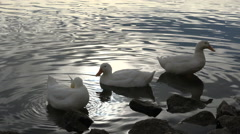 Three White Ducks by the Water Edge Stock Footage