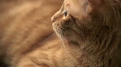 Cat - Beautiful Orange Striped Tabby Kitty Staring with Gorgeous Eyes Stock Footage