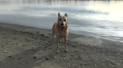 Dog Whinning Near Beach Edge Stock Footage